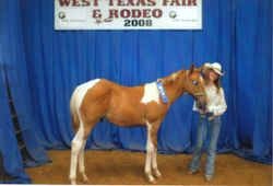 1st Place - Yearling Halter