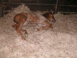 In stal, zijn eerste nacht