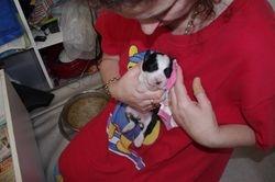 Mischas puppies - 10 days old!