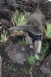 Tamandua bandeira ( Myrmecophaga tridactyla )