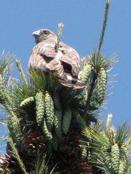 Broad Winged Hawk