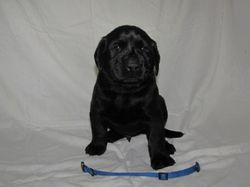 """4 Weeks Old - Blue Collar Male """"Guinness"""""""