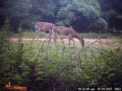 2 Deer grazing