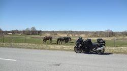 Melni zirgi