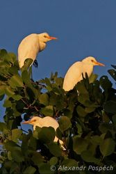 Cattle Egret (Bubulcus ibis) in mangroves, last minute of sunshine before sunset