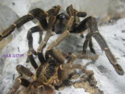Pterinochilus chordatus