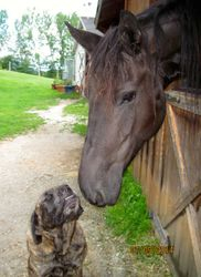 Arwen Evanstar- 5 yr Friesian mare.