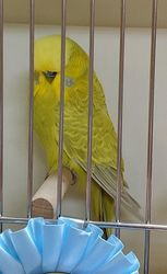 Arkansas Budgerigar Club