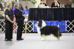 GCH Cheviot Monet got his AOM