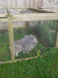 Wotsit the Lionhead Rabbit