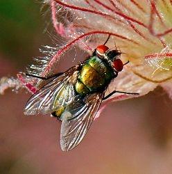 Iridescent Bug on Prairie Smoke by Judy Lathrop (HM)