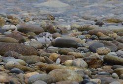 Sanderling   (BECASSEAU SANDERLING)