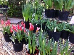 Tulips, narcissus, fritillaria, muscari alba