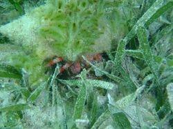 Hermit crab at Matt Lowes Cay