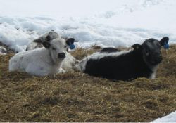 Commercial SP calves relaxing on a warmer winter day