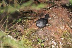 Macuquinho preto , Tapaculo preto ( Scytalopus notorius )