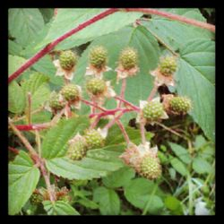 Early Blackberries