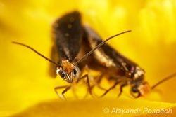Chrostíkovník (Micropterix sp.), mating
