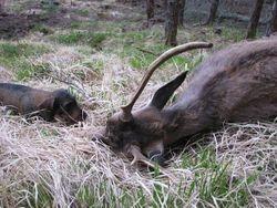 Aya, stag Scotland