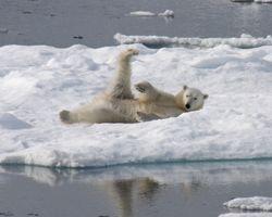Roly-polar bear