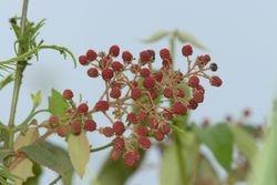 Fruto silvestre