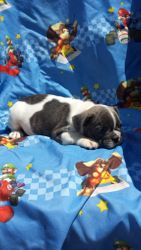 BoBo: now $2895 companion after neuter binder rebate, male, AKC French Bulldog, light blue pied, born 4-15-17 to Berry Pie and Geronimo