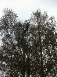 Silver birch pollard