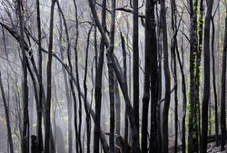 Burnt Forest n Fog 3