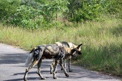 African Wild Dogs at Kruger National Park
