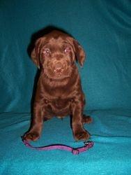 Purple Collar Female - 5 Weeks Old