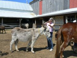Lucy donkey receiving her Animal Reiki Attunement  at PrimRose Donkey Sanctuary