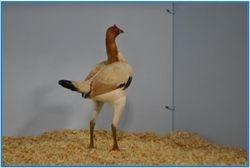 Champion Black Tailed Wheaten ( hen ).