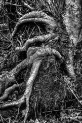 Roots in Black and White