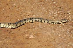 Surucucu do pantanal ( Hydrodinastes giga )