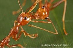 Ants passing food, Wanang