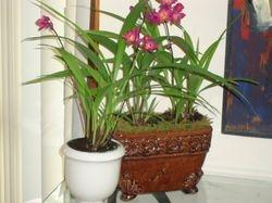 Orquídeas Bletilla striata