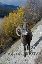 Curly Horn Sheep,Alberta