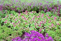 Purple Annual Border
