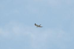 Pallid Harrier (BUSARD PALE)