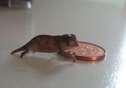Baby Pygmy chameleon