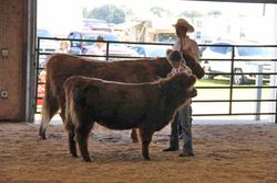 Cow/Calf Reserve Champion