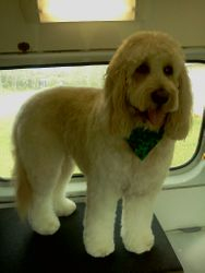 Goldendoodle after