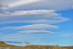 Guanaco and lenticular cloud.