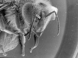 Honeybee Head