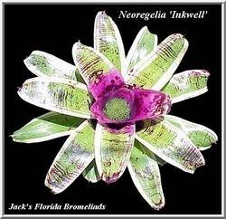 Neoregelia 'Inkwell' $35.00