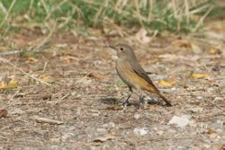 Common Redstart   (Rougequeue a  front blanc)
