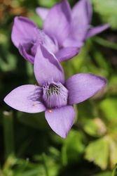 Field gentian flower