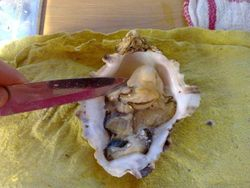 OYSTERS ,SOUTH AFRICA