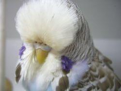 Cin Sky Best Young Hen