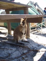 A pademelon, only found in Tasmania
